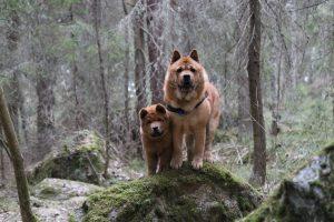 Karhut metsässä